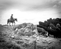 Cowboys Moving Cattle